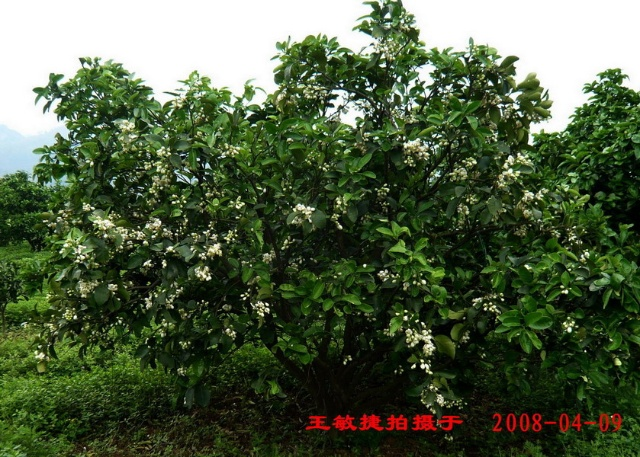 柚子的成长过程