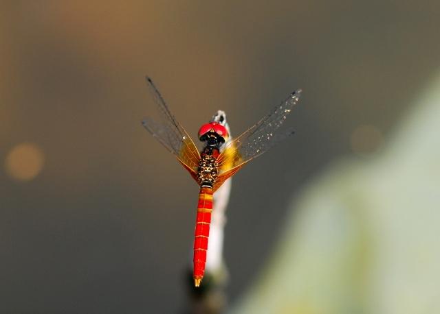 侏红小蜻——世界上最小的蜻蜓