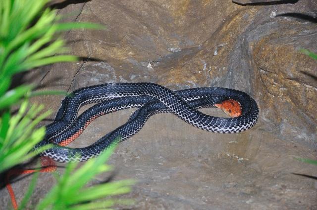 红头响尾蛇