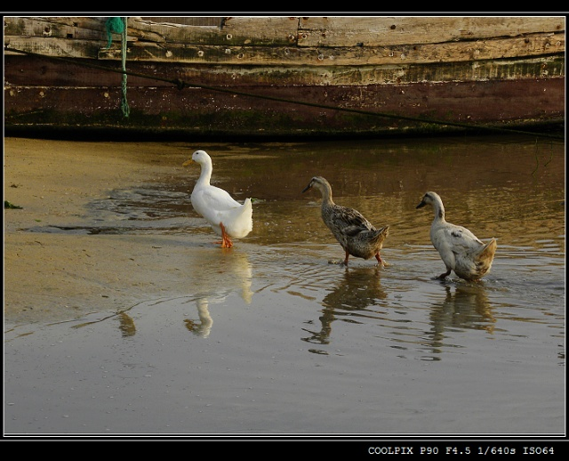 烟台养马岛(三):水生物,鸭子和狗
