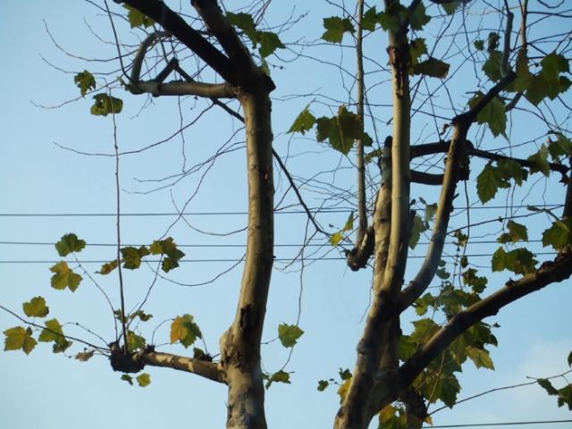 上海很多树的叶子都还