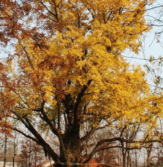 1银杏干枯病   1.1症状:病菌侵入后,在光滑的树皮上,产生光滑圆形或不规则形的病斑,。以后病斑继续扩大,患病部位渐见肿大,树皮出现纵向开裂。春季,在受害树皮上,可见许多枯黄色的庞状子囊抱子座,直径l一3毫米。天气潮湿时,从子囊抱子座内会挤出一条条淡黄色至黄色卷须状分生抱子角。秋季,子座变枯红色到酱红色,中间逐渐形成子囊壳。病树皮层和木质部间,可见羽毛状扇形菌丝体层,初为污白色,后为黄褐色。感病枝干的病斑蔓延,逐步使树皮成环状坏死,最后导致枝条和植株死亡。   1.