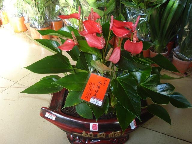红钻花卉养殖如何养殖 红钻花怎么养图片